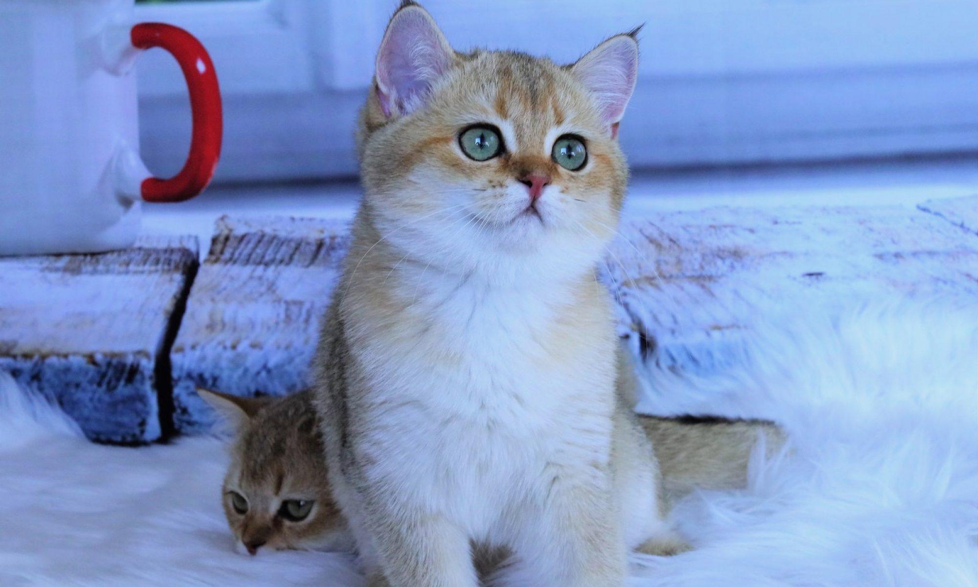 NW British Cat Cattery